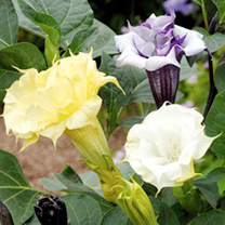 Datura Seeds - Ballerina Mixed