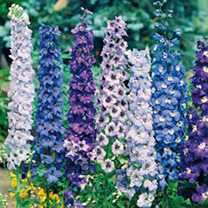 Delphinium Seeds - Pacific Giants Mixed