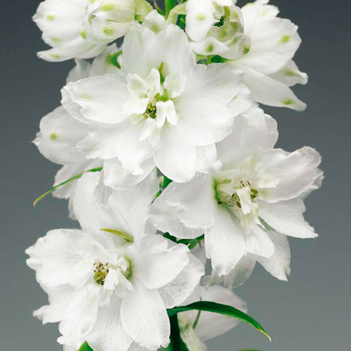 Delphinium Plant - Pure White