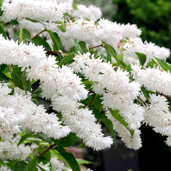 Fragrant White Flowering Shrub Identification Pictures To