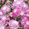 Dianthus Plant - Lionheart