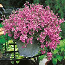 Diascia Seeds - Pink Queen