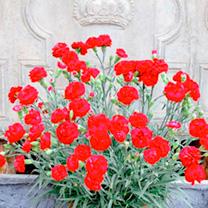 Dianthus Plant - Passion