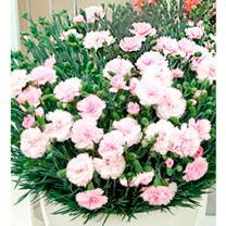 Dianthus Plant - Candy Floss