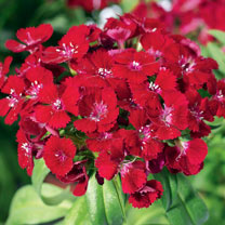 Sweet William Plants - Barbarini Red