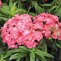Sweet William Plants - Barbarini Salmon