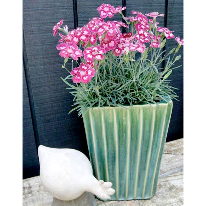 Dianthus Scent from Heaven Plant - Angel of Desire