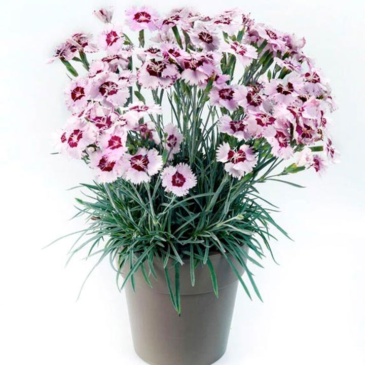 Dianthus Scent from Heaven Plant - Angel of Peace