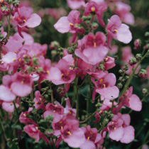 Diascia Seeds - Barberae Pink Queen