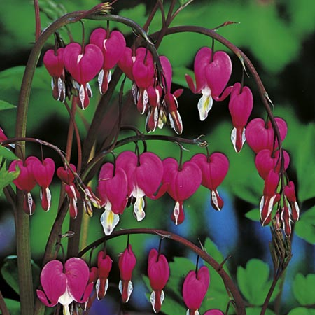 Dicentra Spectablilis Plant - Red