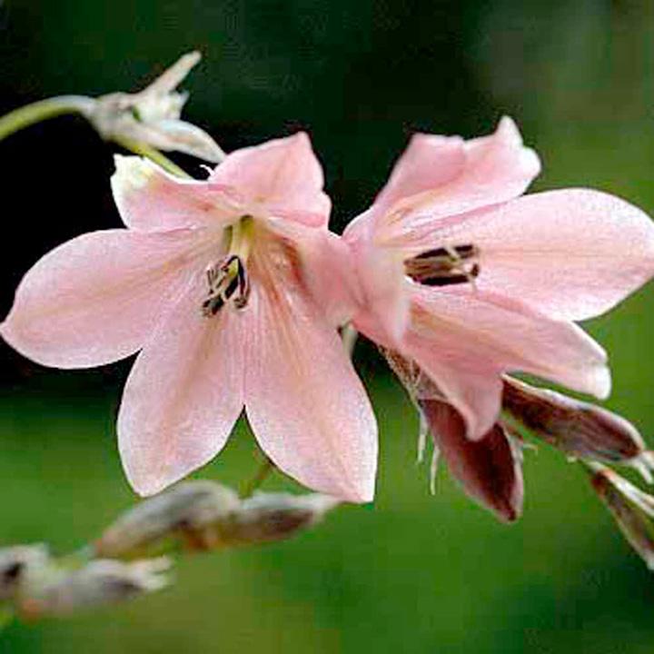 Dierama Plant - Igneum