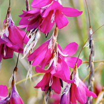 Dierama Plant - Blackberry Bells