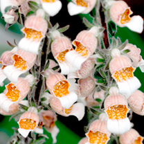 Digitalis Plant - Lanata Cafe Creme