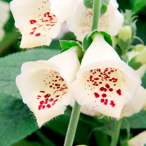 Digitalis Plant - Primrose Carousel