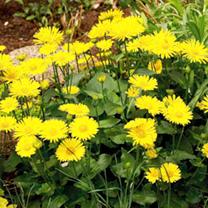Doronicum Plants - Little Leo