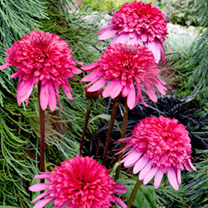 Echinacea Plant - Supreme Elegance