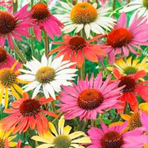 Echinacea Seeds - Paradiso