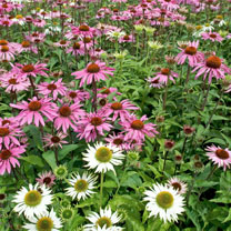 Echinacea Seeds - Mixed Feelings