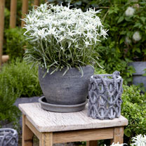Leontopodium Plants - Blossom of Snow