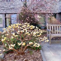 Edgeworthia chysantha Plant
