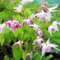 Epimedium Plants - Collection