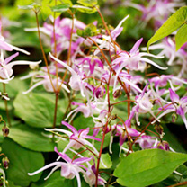Epimedium Plants - Twin Pack