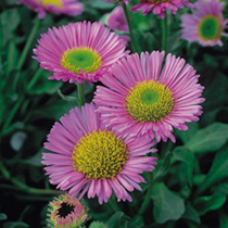 Erigeron Plant - Sea Breeze