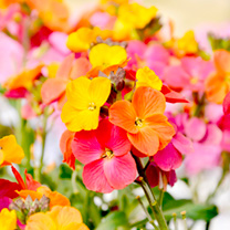 Erysimum Plant - Winter Party