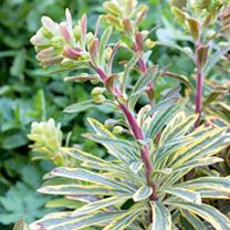 Euphorbia Plant - Ascot Rainbow