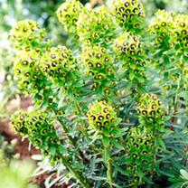 Euphorbia Plant - Black Pearl