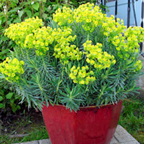 Euphorbia Plant - Shorty
