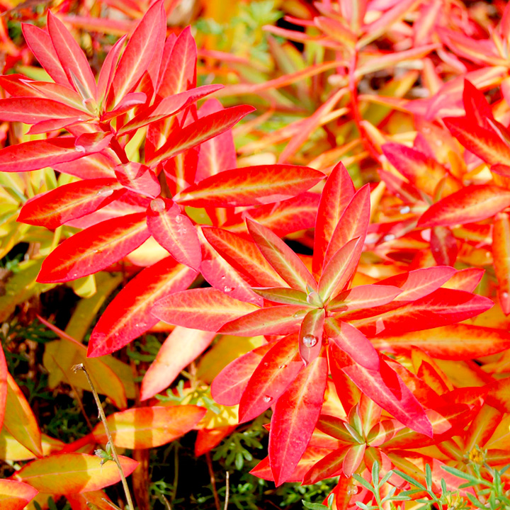 Euphorbia Plant - Fireglow