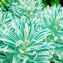 Euphorbia Plant - Glacier Blue