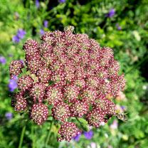 Flowering Carrot Seed - Dara