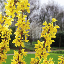 Forsythia intermedia Plants