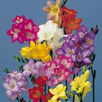 Freesia Seeds - Dobies Coloured Hybrids