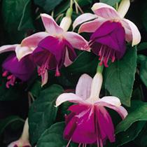 Fuchsia Trailing Plant - Eva Boerg
