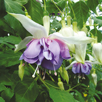 Fuchsia Giant Double Flowered Plants - DEEP PURPLE