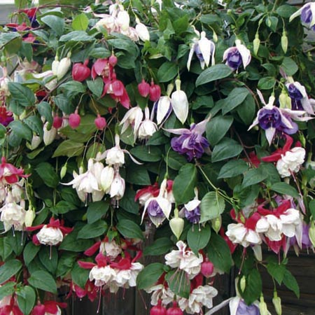 Fuchsia Trailing Plants - Collection