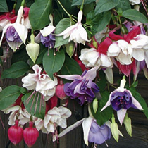 Hanging Basket - Fuchsia Trailing Mix