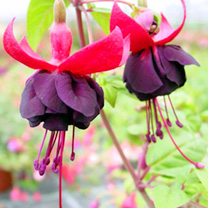 Fuchsia Plants - Giant Double-flowered Trailing