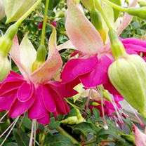 Fuchsia Giant Double-flowered Trailing Plants - Miss Lily