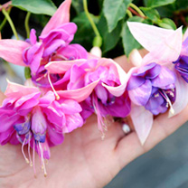 Fuchsia Giant Double-flowered Trailing Plants - Snowy River