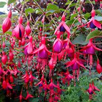 Fuchsia Plants - Hardy Collection