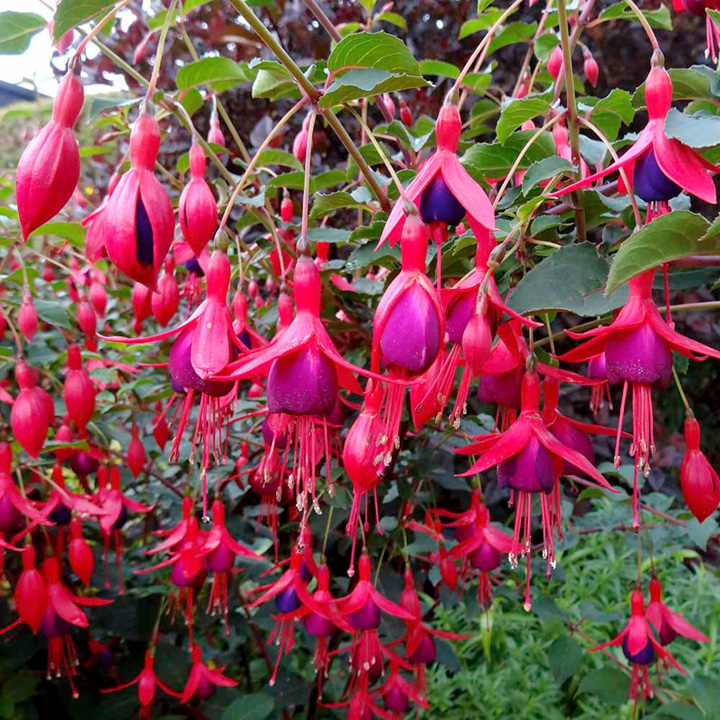 Fuchsia Plants - Hardy Collection - Dobies