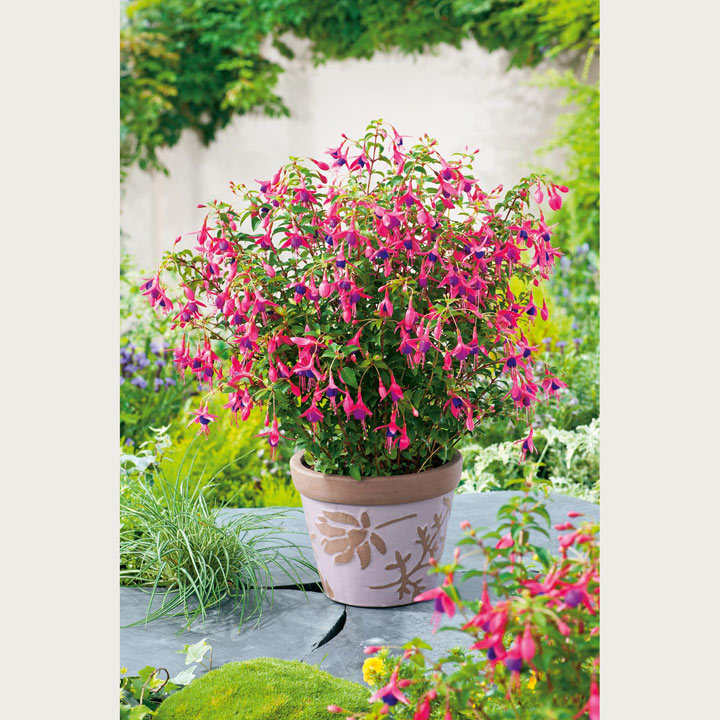 Fuchsia hardy plant tom thumb container plants flower plants flowers garden dobies - Hardy houseplants ...