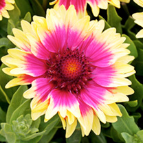 Gaillardia Plant - Snappy