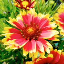 Gaillardia Plant - Cutie