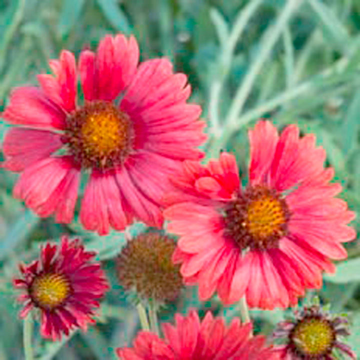 Gaillardia Seeds - Strawberry Firewheels