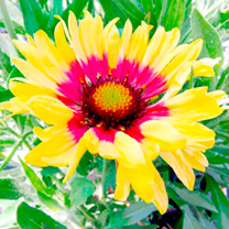 Gaillardia Plant Sunset Mexican